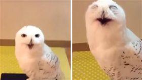 貓頭鷹,寵物,笑聲,鳥,羽毛,大叔,叫聲 (圖/翻攝自YouTube)