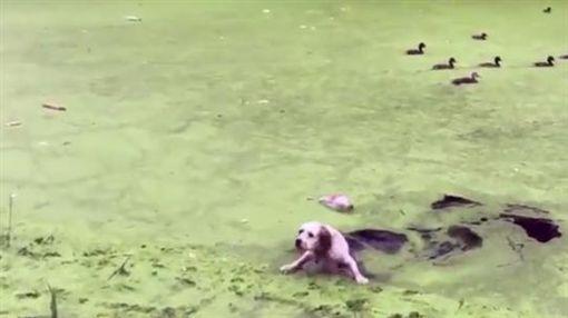 日本,狗,落水(圖/翻攝自推特)