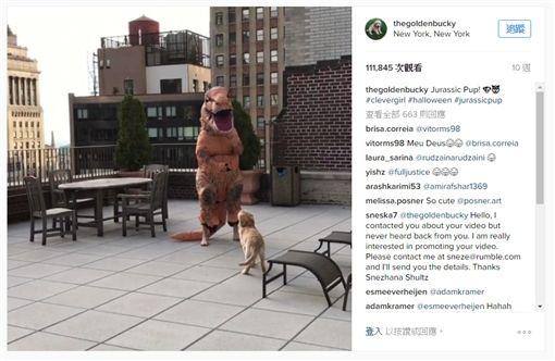 影/小黃金入鏡亂跑 主人傻眼「我演的不是侏儸紀小狗!」圖/翻攝自thegoldenbucky IGhttps://www.instagram.com/p/BMKZOA_AVzM/