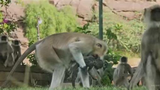 英國BBC,印度,灰葉猴(圖/翻攝自YouTube)