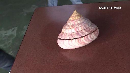 撈到活化石「龍宮貝」 漁民不識貨險賣掉