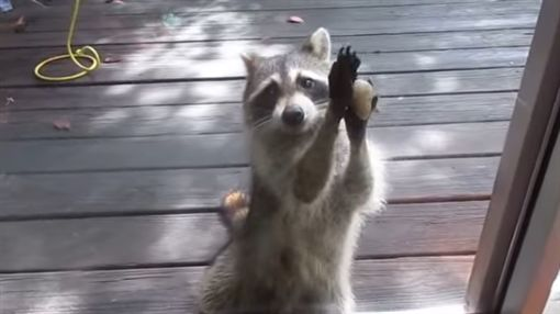 浣熊拿石頭敲門要求補飼料。(圖/翻攝自ZOOSIELOVESCONCERTS YouTube)