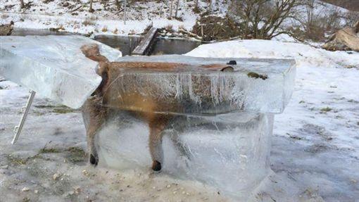 BBC,冷凍狐狸,狐狸,凍死 圖/翻攝自BBC