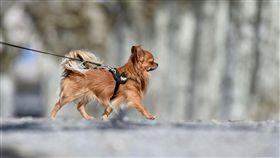 帶狗散步,寵物,毛小孩,長毛吉娃娃(圖/美聯社/達志影像)