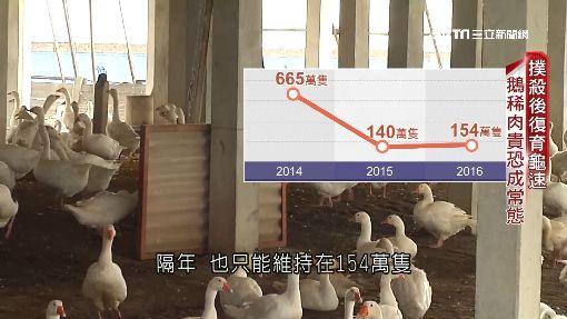 撲殺百萬流感禽 復育卡關年節缺鵝