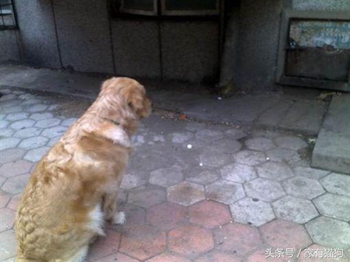 黃金獵犬圖翻攝自頭條號/家有貓狗http://www.coco01.net/post/214271
