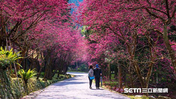 南投賞櫻景點,櫻花,旅遊,九族文化村。(圖/簡慶南提供)