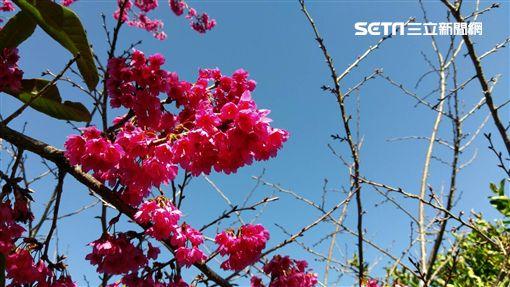 走春,櫻花,南投草坪頭,晴朗,過年_記者施佩儀攝