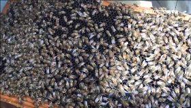 城市養蜂夯1800
