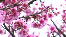 收假賞櫻花1200