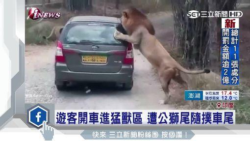 野生動物園驚魂!公獅突「飛撲咬車」