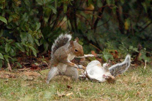 松鼠打架(翻攝Mirror