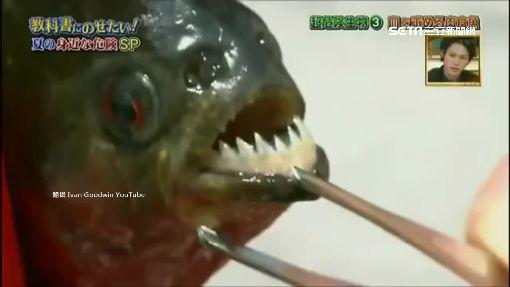 東京多摩川變亞馬遜 大蟒蛇、食人魚現蹤