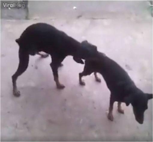 狗,交配,性行為,寵物 圖/翻攝自FB