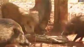 野豬,蟒蛇(圖/翻攝自YouTube)
