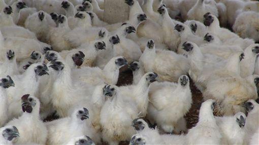 疑染禽流感H5N6 雲林私宰雞淪陷禽流感入侵台灣東西部,H5N6病毒令人聞之色變,嘉義縣私宰雞確定驗出後,雲林口湖一批私宰雞也淪陷,防疫所已採樣送驗並移動管制。圖為雲林1處烏骨雞場的烏骨雞。(檔案照片)中央社記者葉子綱攝 106年2月13日