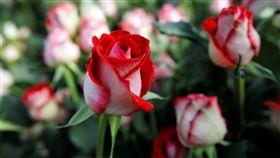情人節、花、玫瑰(圖/路透社/達志影像)