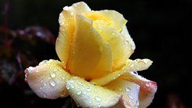 情人節、花束、花朵、玫瑰(圖/路透社/達志影像)