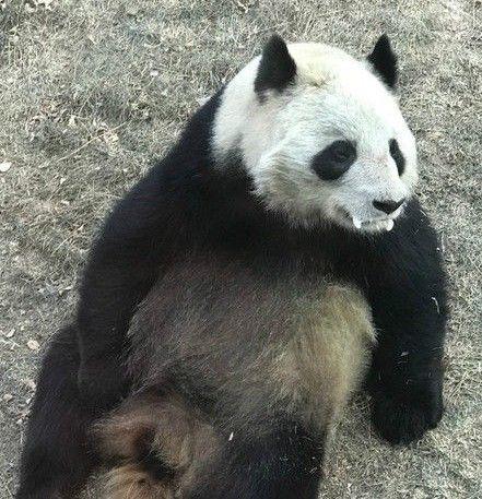 大陸貓熊蜀蘭口吐白沫/搜狐