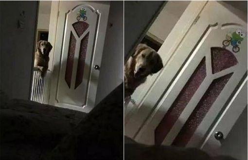 擔心睡著時再度被拋棄,黃金獵犬每晚到主人床邊站哨。(圖/翻攝自頭條號)