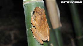除斑大作戰!新北清除外來種斑腿樹蛙