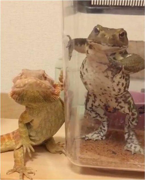 青蛙,jojo立,jojo的奇幻冒險,蜥蜴,推特 圖/翻攝自推特