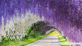 追花之旅,九州紫藤花、荷蘭鬱金香、河南牡丹花、丹麥櫻花、京都櫻花。(圖/KAYAK提供)