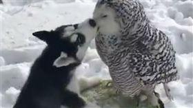 嘿美,貓頭鷹,寵物,狗,月月,哈士奇,親親,接吻,毛小孩,愛上毛們(ig@@jealousdevil)