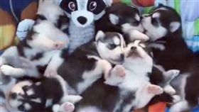 寵物,毛小孩,浪浪,可愛,動物,哈士奇,月月(臉書@MyWinterfell's Siberian Huskies)