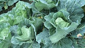 高麗菜,菜價,青菜,蔬菜-記者周筠羚攝