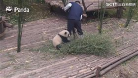 大熊貓寶寶「奇一」緊黏飼養員