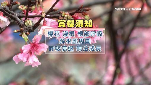 東湖賞櫻亂象多 民眾踩踏草地.拉樹枝