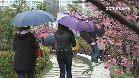 櫻花被踩死1800
