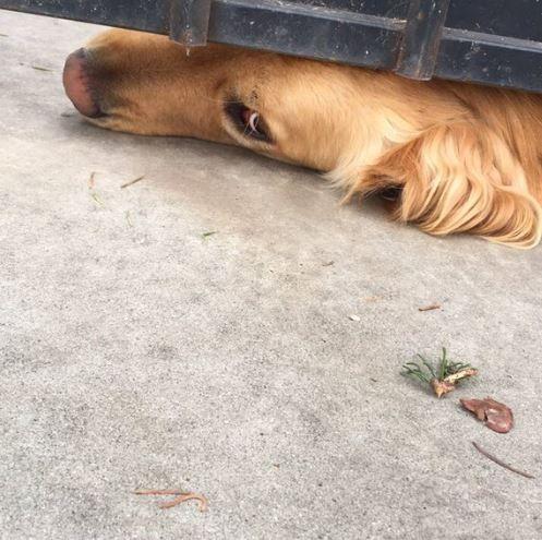 影/為討姊姊摸摸 黃金獵犬每天塞門縫等放學。資料來源:elisa推特
