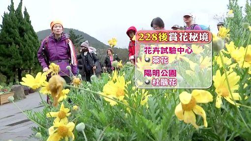 「先暖冬、後寒流」 陽明山櫻花只開六成