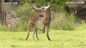兩隻袋鼠拳打腳踢互不相讓。