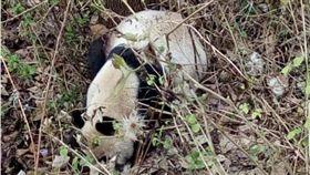 嗜血大熊貓啃食山羊。(圖/翻攝自巴士的報)