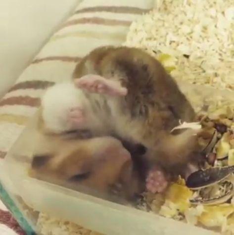 小倉鼠把屎當飼料吃。(圖/翻攝自臉書社團「倉鼠快樂養」)