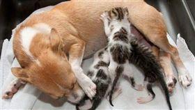 狗,奶貓,寵物,領養,動物之家,愛貓,LoveMeow,波爾,Evi Pover,希望,Esperanza 圖/LoveMeow https://goo.gl/gx8zzU