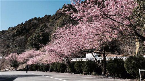 櫻花,日本,伊豆(推特 https://twitter.com/0kd16d26729073b/status/837658962979758080)