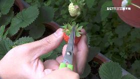 草莓春仍寒1200