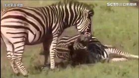 靈性動物展父愛!見母斑馬難產 公斑馬想盡辦法救活母子