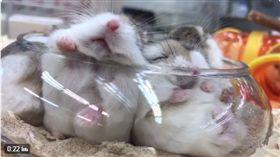 可愛倉鼠擠在碗裡取暖。(圖/翻攝自@pet7584 Twitter)