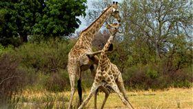 兩隻長頸鹿用腳打架。(圖/翻攝自Caters/Thomas Retterath)