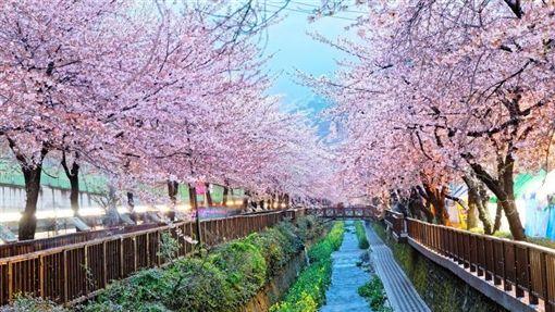 日本,櫻花。(圖/翻攝自Skyscanner網站)