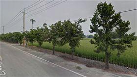 羅漢松,雲林林內,路樹 圖/翻攝自Google Map