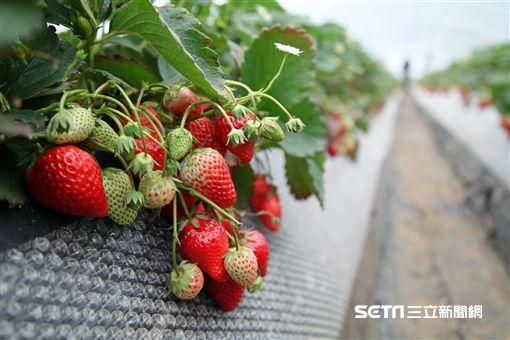 採草莓,日本,旅遊,深作農場,草莓蛋糕。(圖/記者簡佑庭攝)