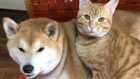 貓,狗,睡,毛小孩,愛上毛們 (圖片來源:ig@shibainu.gaku)