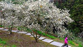 ▲阿里山櫻花。(圖/公路總局提供)