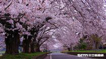 茨城縣,筑波,自行車,旅遊,櫻花隧道。(圖/茨城縣提供)